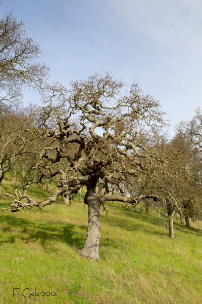 oak-tree-01.jpg
