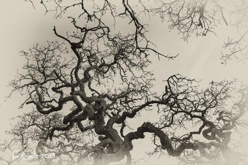 oak-tree-03b.jpg