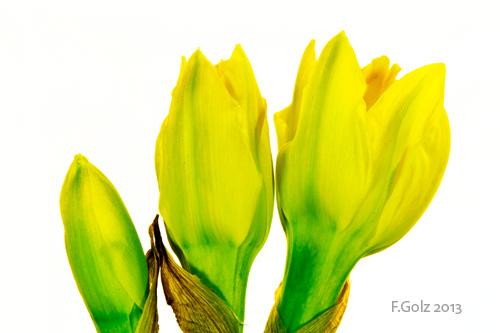 daffodils-02.jpg