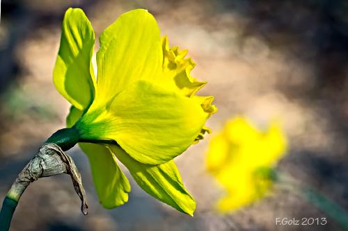 daffodils-03.jpg