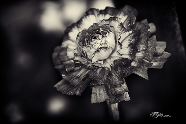 Spring Flowers in Black and White 04