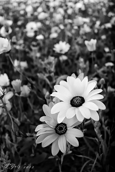 Spring Flowers in Black and White 07
