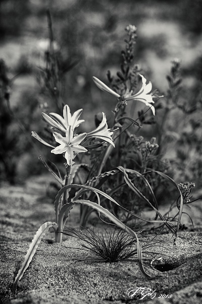 Spring Flowers in Black and White 08