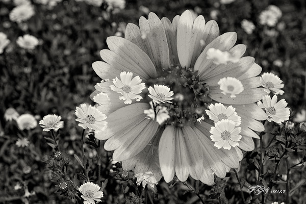 Spring Flowers in Black and White 09